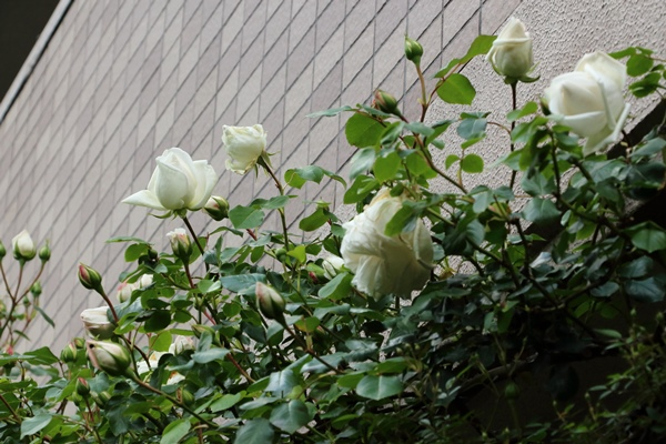 横浜の庭2 新雪