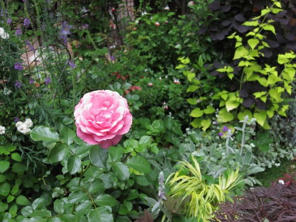 ロイヤルボニカとフェンス前花壇