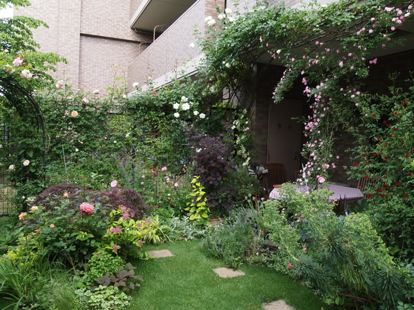 最盛期を迎えた芝庭周りのバラ
