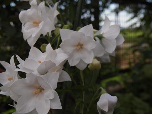 八重咲の桔梗