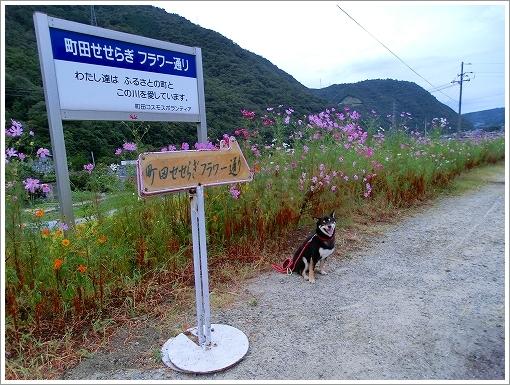 13.09.29 町田のコスモス 001