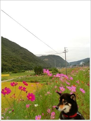13.09.29 町田のコスモス 003