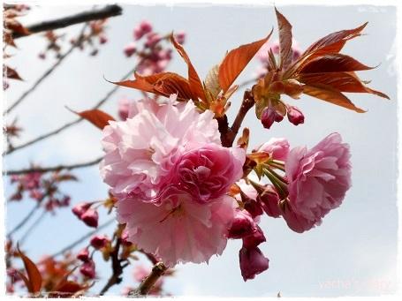20130411入学式八重桜