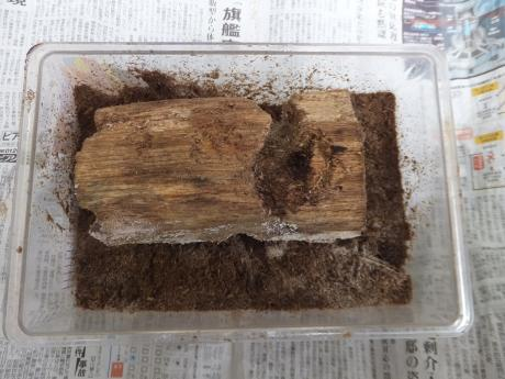 佐賀県神埼産赤眼の産卵セット。。。表。。。