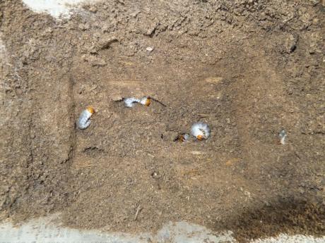 866直仔♂×50.5(80系)ラインの産卵セット。。。材を取り除いた所。。。