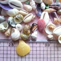 箱入り貝殻4