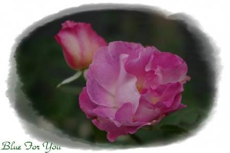 rose1117 008
