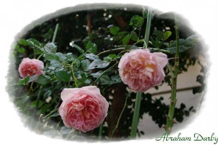 rose1117 014