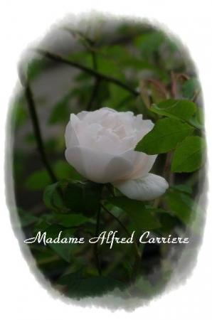 rose1117 009