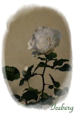 rose1117 011