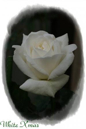 rose1117 013