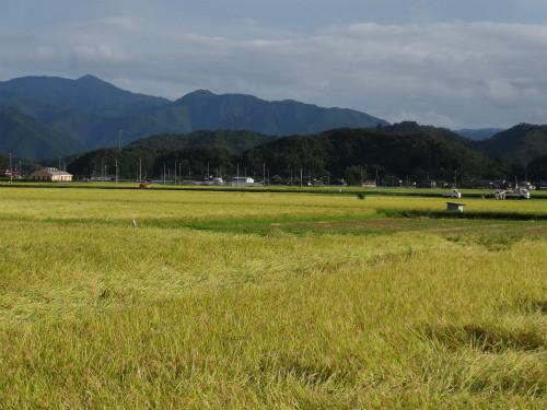 稲刈り 真っ盛り