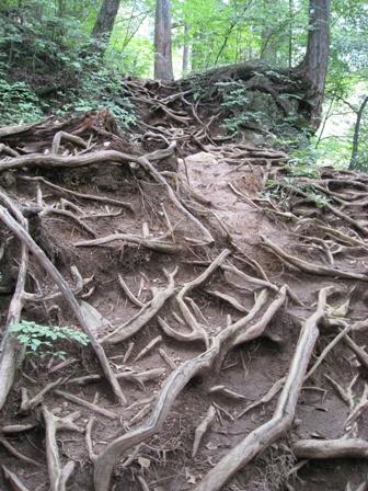 険しい木の根の道を下ります