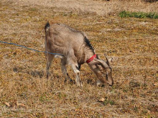 20140202・自然観察会16・シバヤギ
