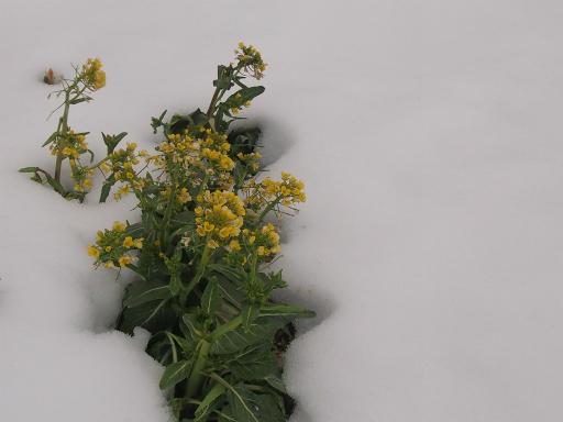 20140211・雪散歩植物1