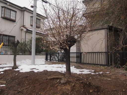 20140211・雪散歩2-09・ウメ