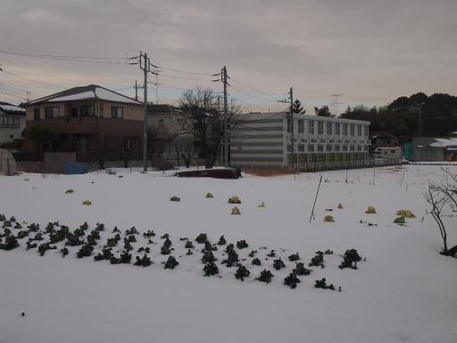 20140211・雪散歩2-08・キャベツ
