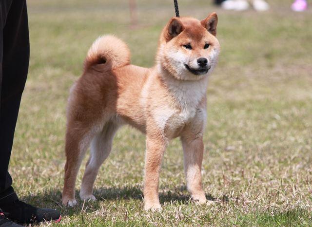 刀竜丸号  (光神竜×将司姫)讃岐水本荘 小型雄部幼犬組