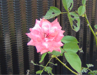 病院の花壇-2