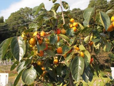 柿の木 こどもの畑 131003