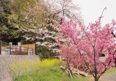 東光寺(静岡市清水区横砂)墓地 の桜 2