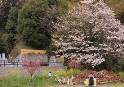 東光寺(静岡市清水区横砂)墓地 の桜 3