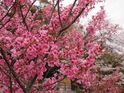 東光寺(静岡市清水区横砂)墓地 の桜