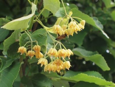 菩提樹の花20130606