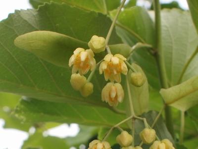 菩提樹の花201306062