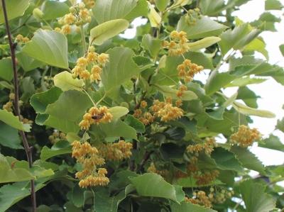 菩提樹の花201306063
