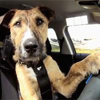 運転する犬
