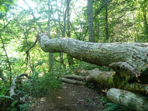 4つ この倒木は去年の豪雨のときかな?
