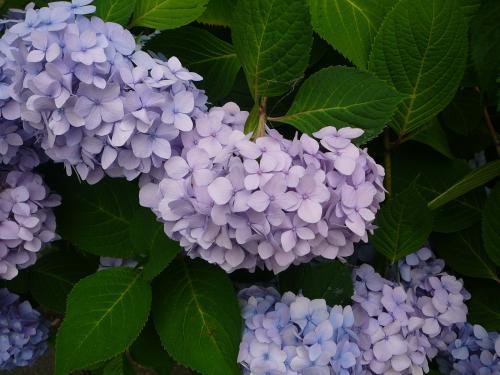 紫陽花を見ると夏を感じますね~