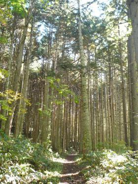 すくっと伸びた木立が見事です。