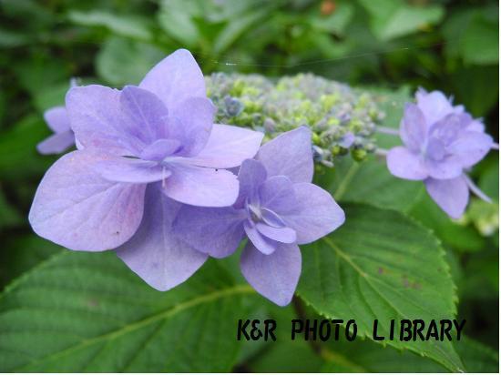 城ヶ咲きの紫陽花1