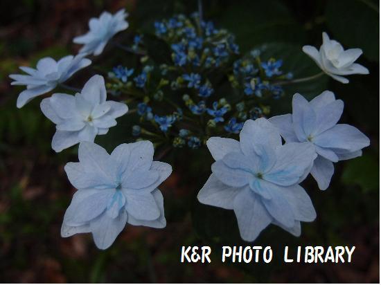 城ヶ咲きの紫陽花2