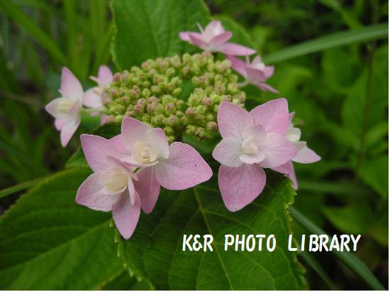 城ヶ咲きの紫陽花3