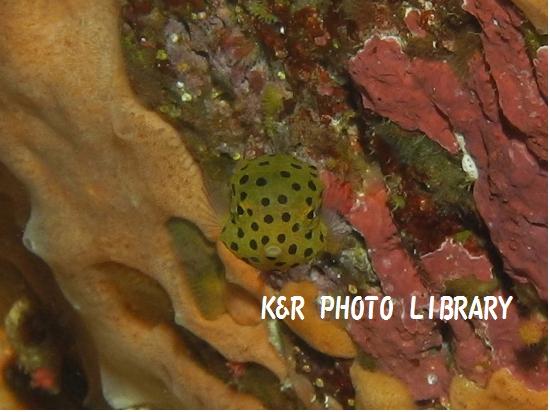 ミナミハコフグ(幼魚)