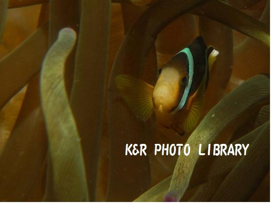クマノミ(幼魚)
