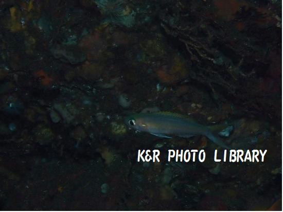 カワリハナダイ(幼魚)1