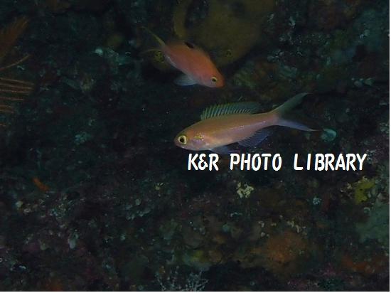 カワリハナダイ(幼魚)2
