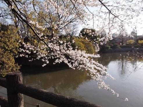桜だって伸び伸びと枝を広げたいよね。