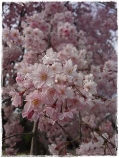 2お花見2013