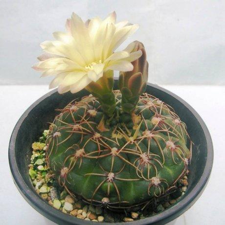 130326a--Sany0147--leeanum--Mesa 469.55 -- plant