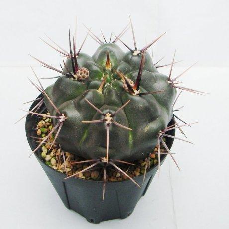 G. reductum ssp sibalii--WP 28-33--ex Eden14905