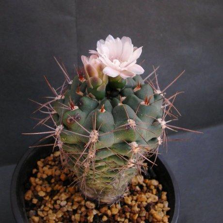 G andreae ssp carolinense--GN 273-880--Piltz seed 3410
