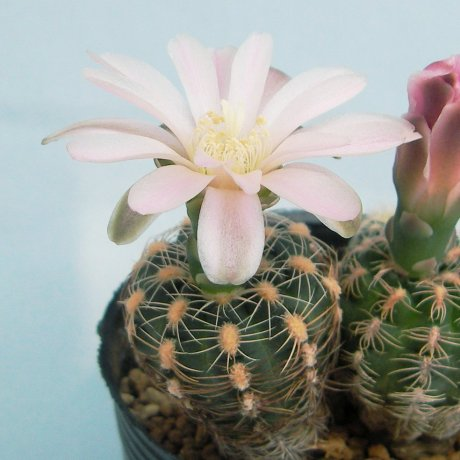 130415--Sany0020--bruchii ssp lafaldense--LB 1093--ex Eden 14416