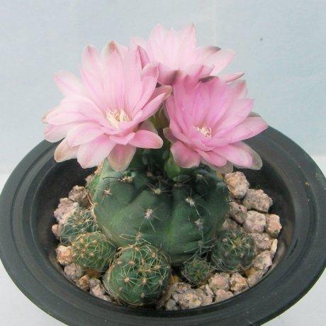 130418--Sany0098--bruchii v brigittae--P 214--Mesa seed 458.3