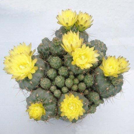 130427--Sany0002--andreae v longispinum--Mesa seed