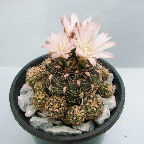 Sany0154--bruchii ssp cumbresitense--GN 232-718--piltz seed 3585--GN 232-718-- Calamuchita--ex Milena